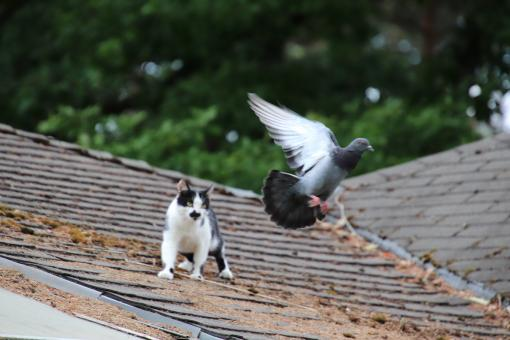 Free Stock Photo of Cat trying to catch a pigeon