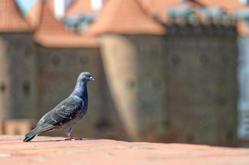 Free Stock Photo of Dove with castle in background