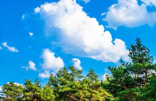 Free Stock Photo of Green branches of a pine trees against the blue sky