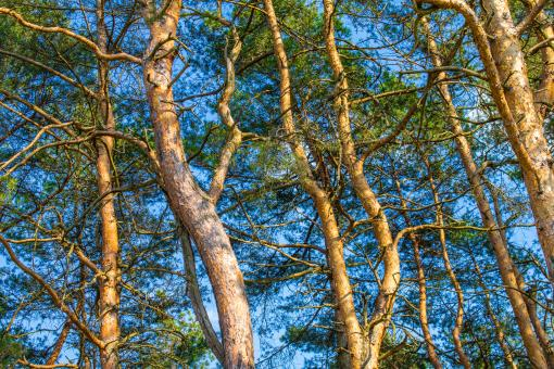 Free Stock Photo of Green branches of a pine with young cones against the blue sky