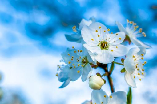 Free Stock Photo of Blossoming plum against the blue sky