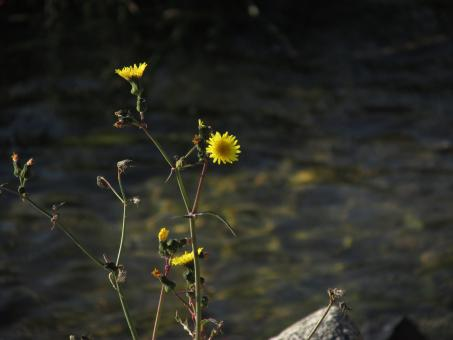 Free Stock Photo of Yellow wildflower by the lake