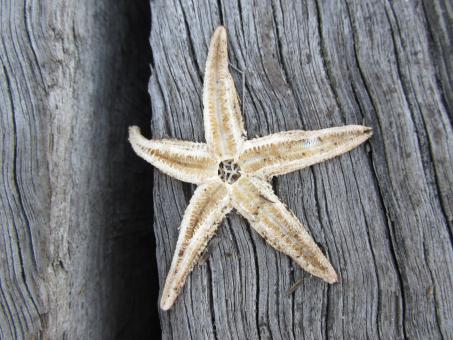 Free Stock Photo of Dead starfish