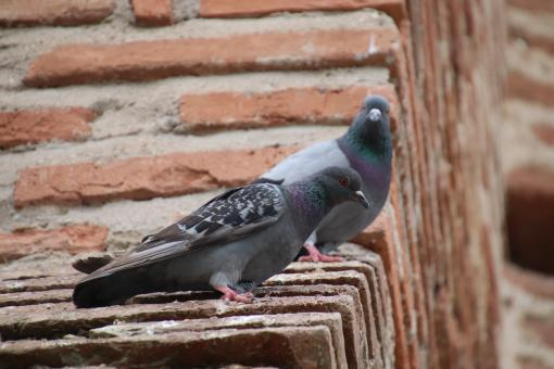 Free Stock Photo of Pigeons on a brick wall