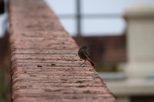 Free Stock Photo of Red tail on a brick wall