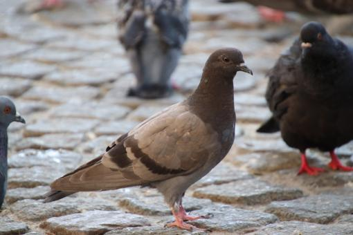 Free Stock Photo of Brown pigeon on a street pavement