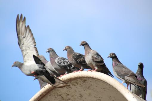Free Stock Photo of Several pigeons, one is flying away
