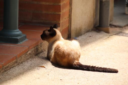 Free Stock Photo of Siamese cat waiting in front of a house door