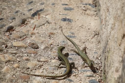Free Stock Photo of Lizards Fighting
