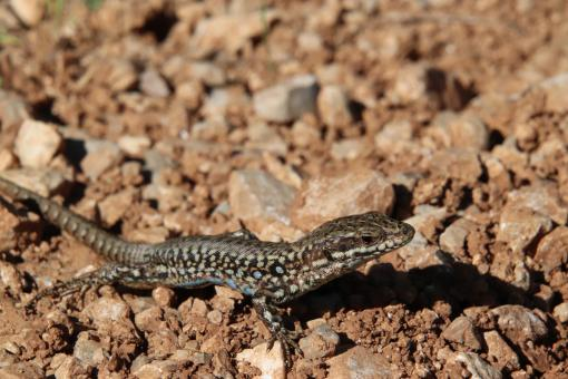 Free Stock Photo of Common lizard with blue spot on the belly