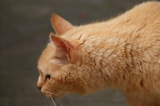 Free Stock Photo of Ginger cat smelling something