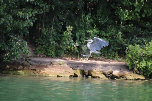 Free Stock Photo of Heron landing