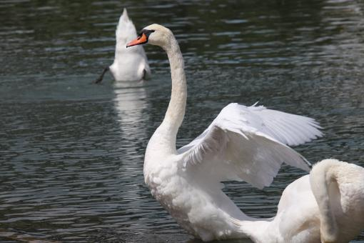 Free Stock Photo of Swan stretching in the river