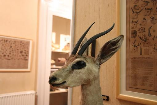 Free Stock Photo of Naturalized antelope in a museum