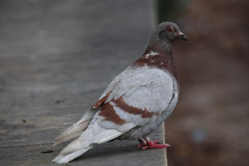 Free Stock Photo of Not-so-common pigeon