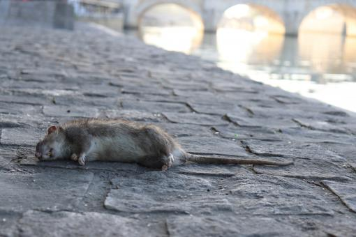 Free Stock Photo of Sad end for a rat