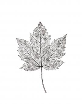 Free Stock Photo of Autumn Leaf Drawing