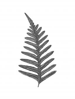 Free Stock Photo of Fern Leaf - Black and White Illustration