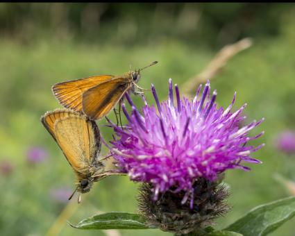 Free Stock Photo of Skipper butterflies mating