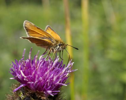 Free Stock Photo of Skipper butterfly feeding