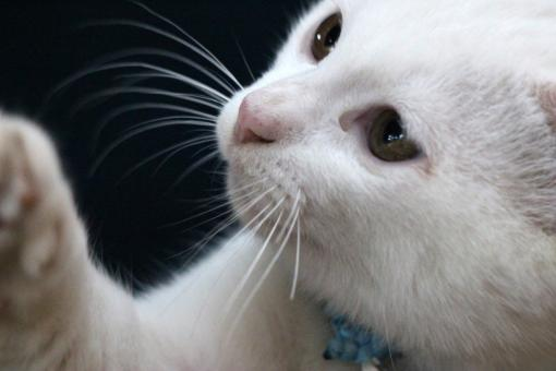 Free Stock Photo of Close up of face and eyes of white cat