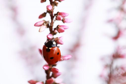 Free Stock Photo of Ladybug on Pink Plant