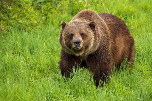 Free Stock Photo of Grizzly Bear