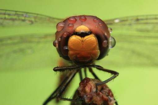 Free Stock Photo of Dragonfly Macro