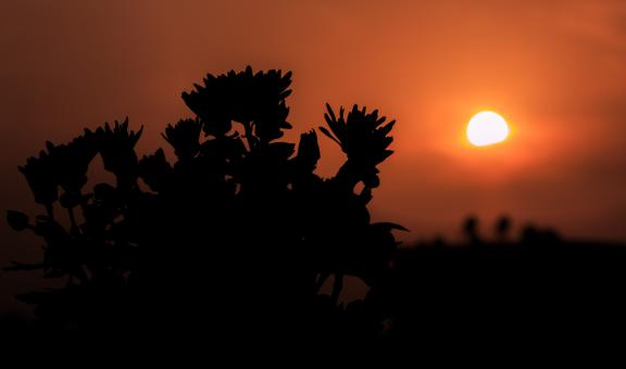 Free Stock Photo of Silhouette of Flowers at Sunset