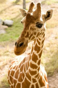 Free Stock Photo of Cute Giraffe