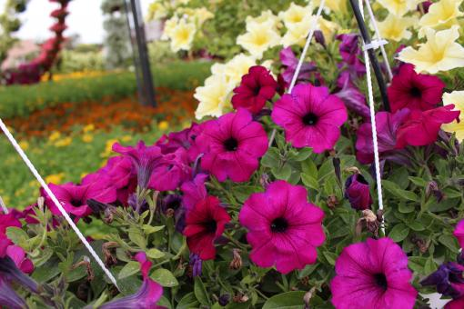 Free Stock Photo of Beautiful Colors Flowers in Outdoor Park