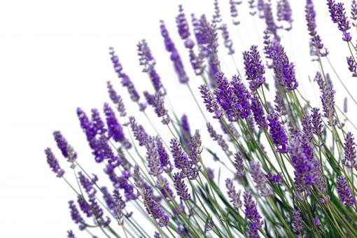 Free Stock Photo of Lavender Flowers on White