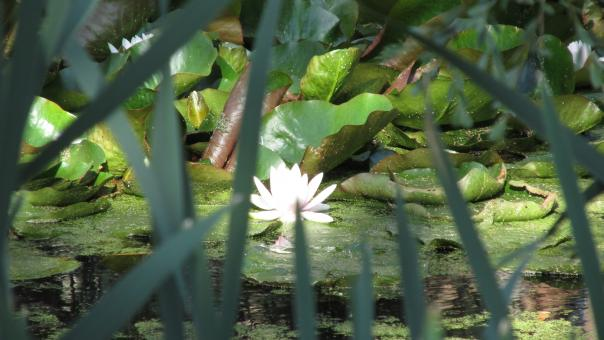 Free Stock Photo of Lotus pond and tall grass