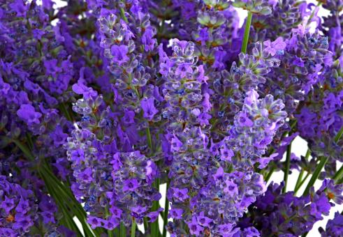 Free Stock Photo of Purple Lavender Flowers