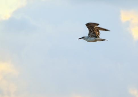 Free Stock Photo of Seagull in Mid-air