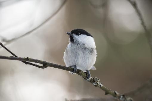Free Stock Photo of Willow Tit
