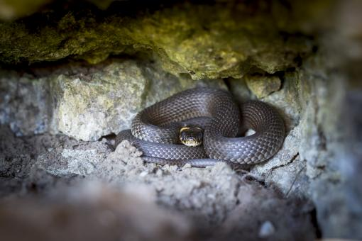 Free Stock Photo of Grass Snake