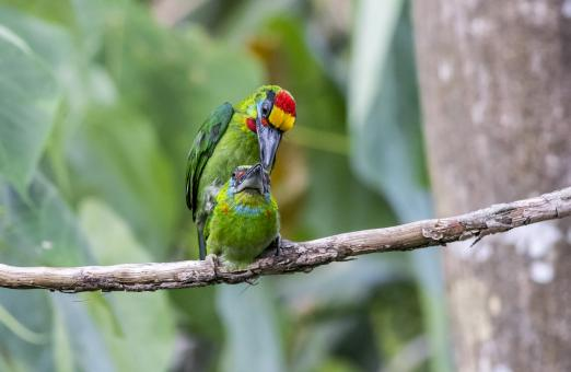 Free Stock Photo of Red-throated Barbet