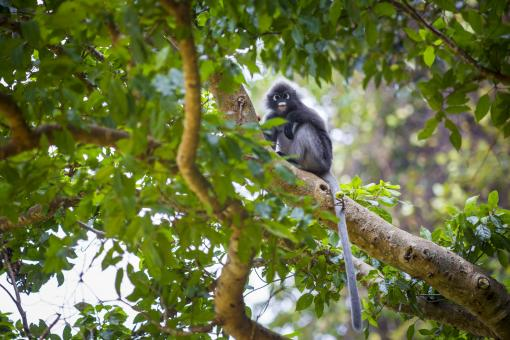 Free Stock Photo of Dusky Leaf Monkey