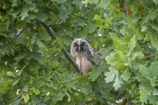 Free Stock Photo of Long Eared Owl
