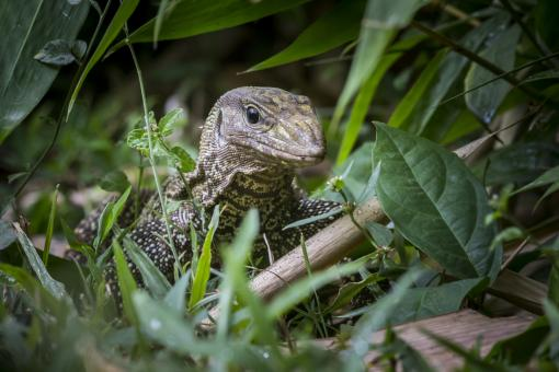 Free Stock Photo of Asian water monitor