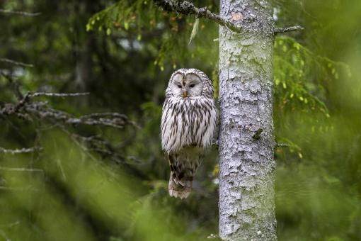 Free Stock Photo of Ural owl