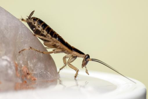 Free Stock Photo of German Cockroach