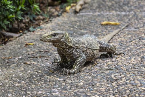 Free Stock Photo of Asian water monitor lizard