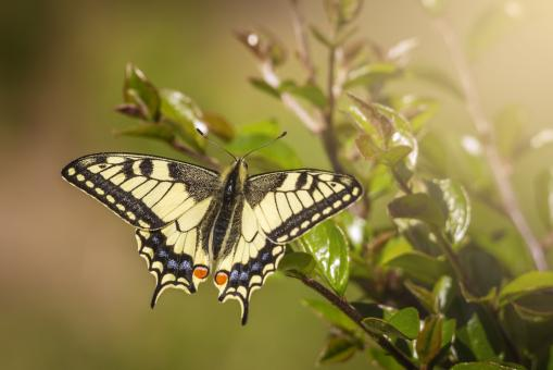 Free Stock Photo of Old World Swallowtail