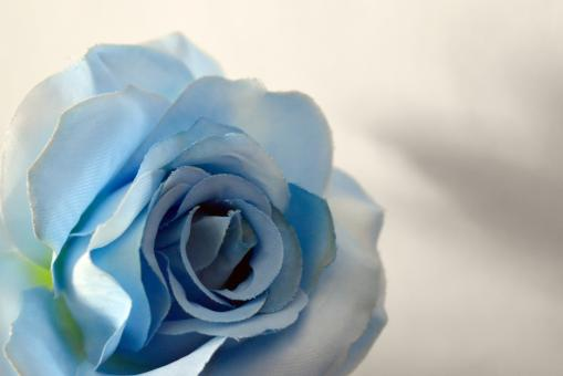 Free Stock Photo of Rose of light blue color