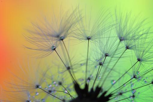 Free Stock Photo of Macro Dandelion Clocks