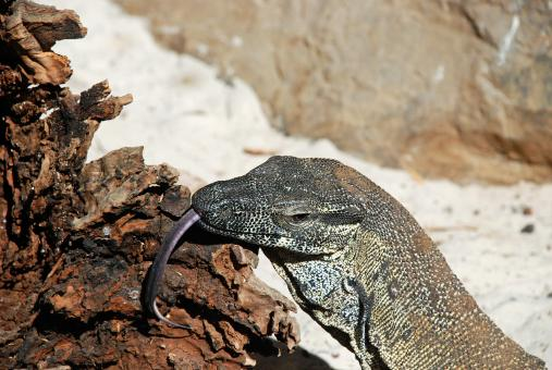 Free Stock Photo of Lace Monitor Lizard
