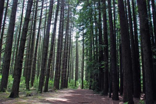 Free Stock Photo of Redwood Forest Path