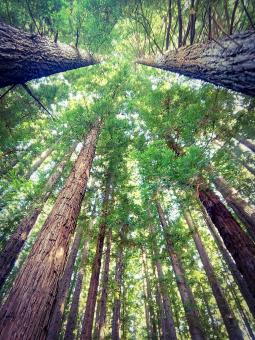 Free Stock Photo of Giant Redwoods - Looking Up